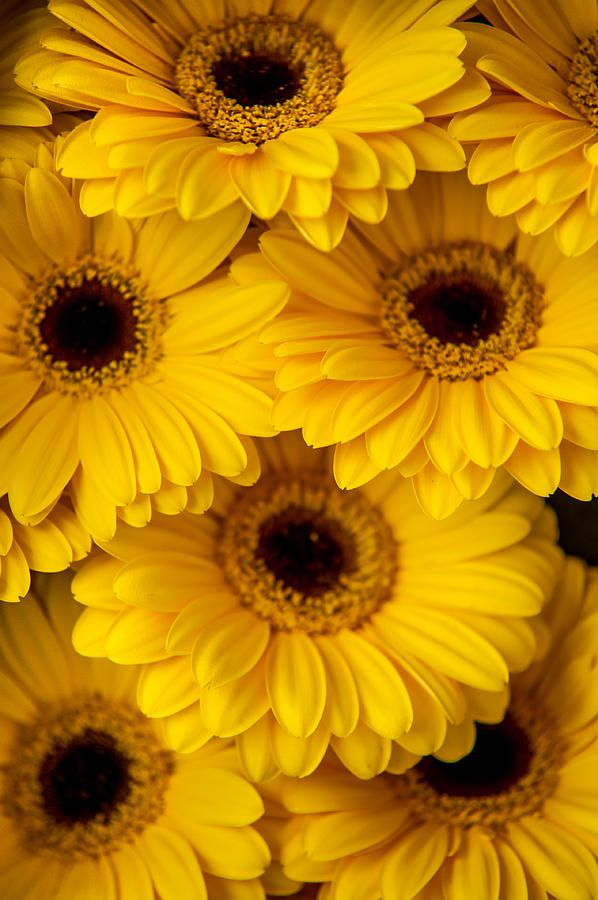 Yellow Gerbera 1 Amsterdam Flower Market By Jenny Rainbow Photography Prints Art Amsterdam Flower Market Flowers Photography