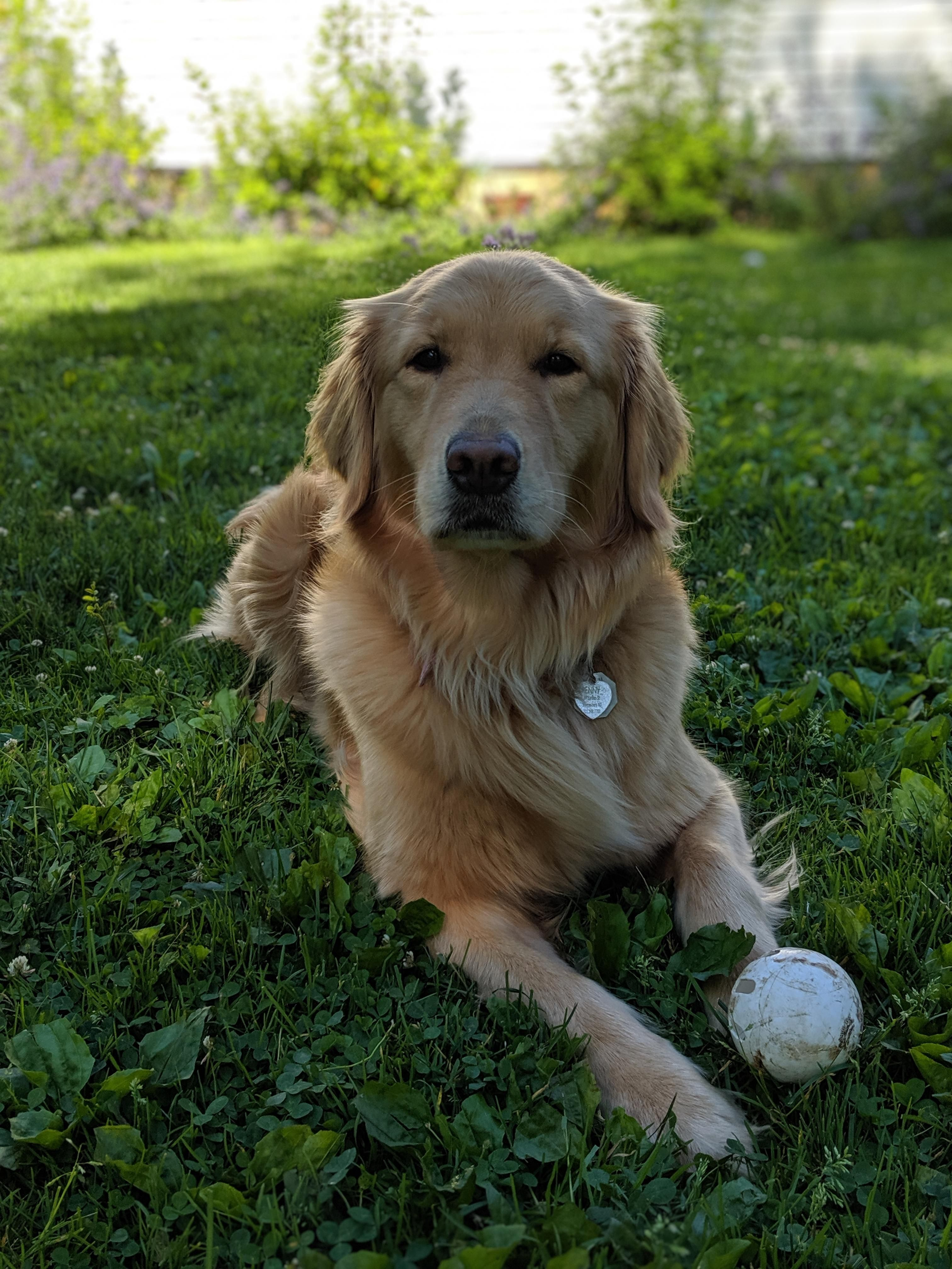 Penny And Her Ball With Images Dogs Golden Retriever Dog
