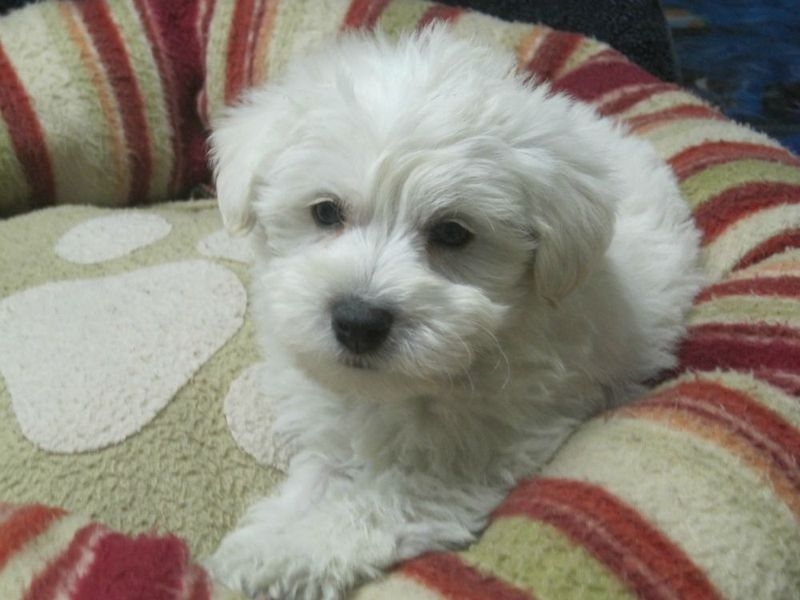Westie Poo Puppy, a white Dougall!