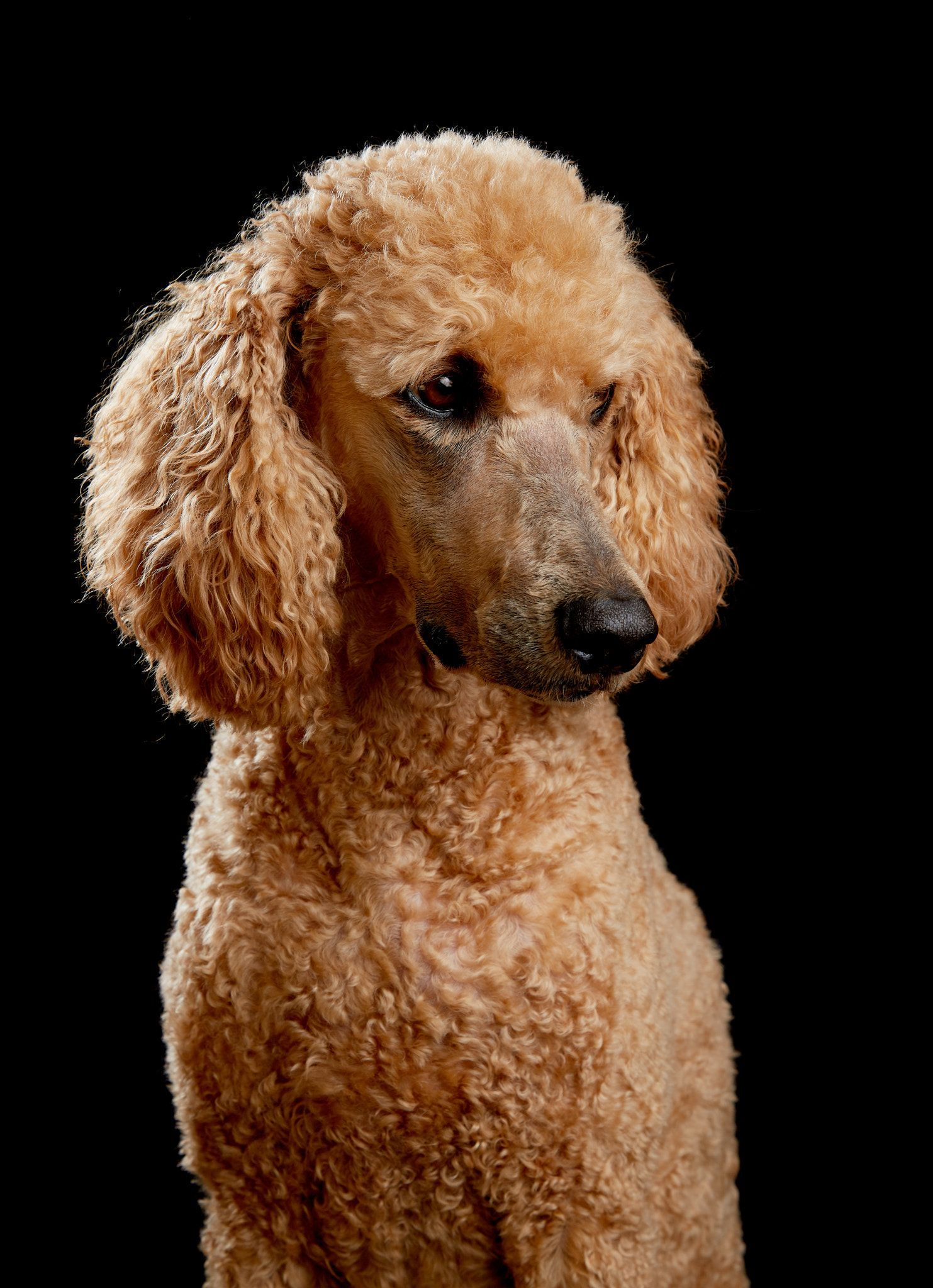 Poodle Portrait In Studio Golden Poodle Portrait In Studio With