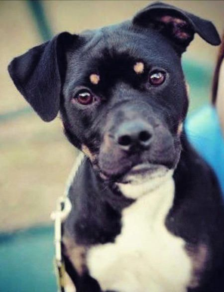 Lucy the Boston Terrier/Rottweiler Mixed Breed