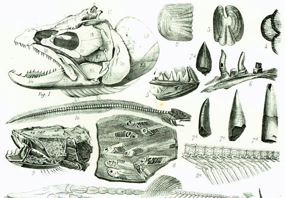1853 Truite Anguille Brochet Poissons Fossiles Gravure Etsy Trout Paleontology Etsy