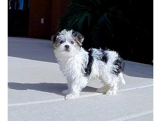 Gorgeous Parti Morkie Designer Puppy 4 Sale San Diego 1 195