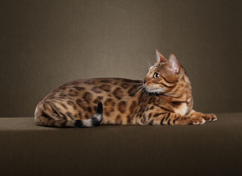 Brown Rosetted Bengal From Paragon Bengals Cute Animals Bengal