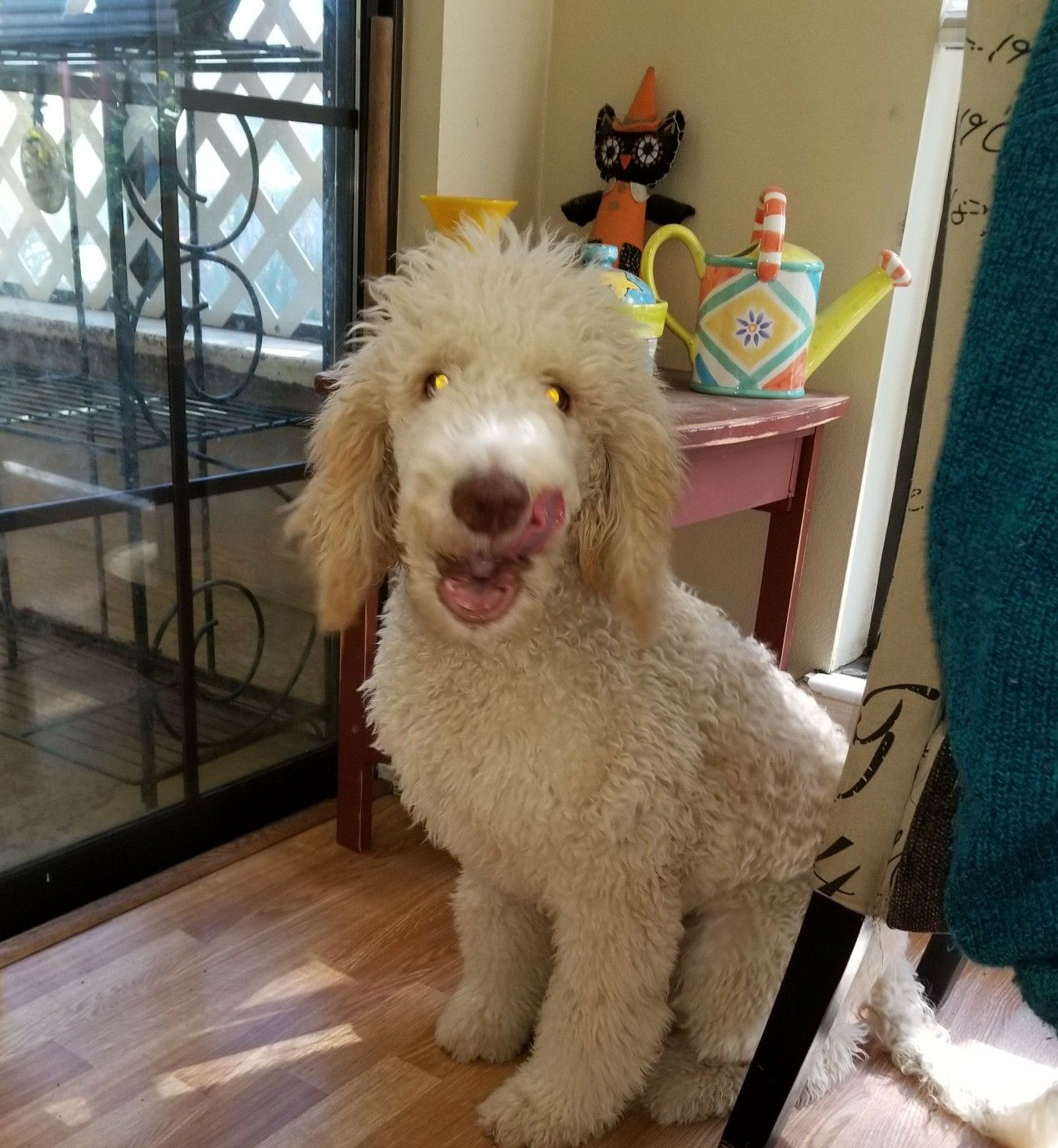 Charlie a standard poodle puppy from emerald coast