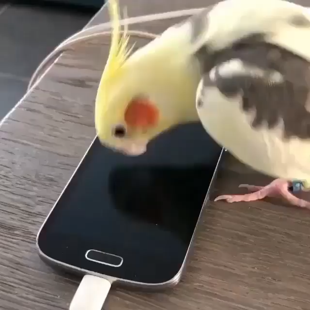 Funny cockatiel parrot singing Samsung whistle tone