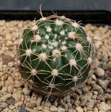 Resultado de imagem para notocactus ferrugineus