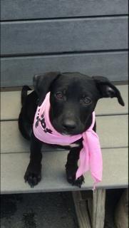 Adopt Zora On Great Dane Mix Pets Labrador Retriever