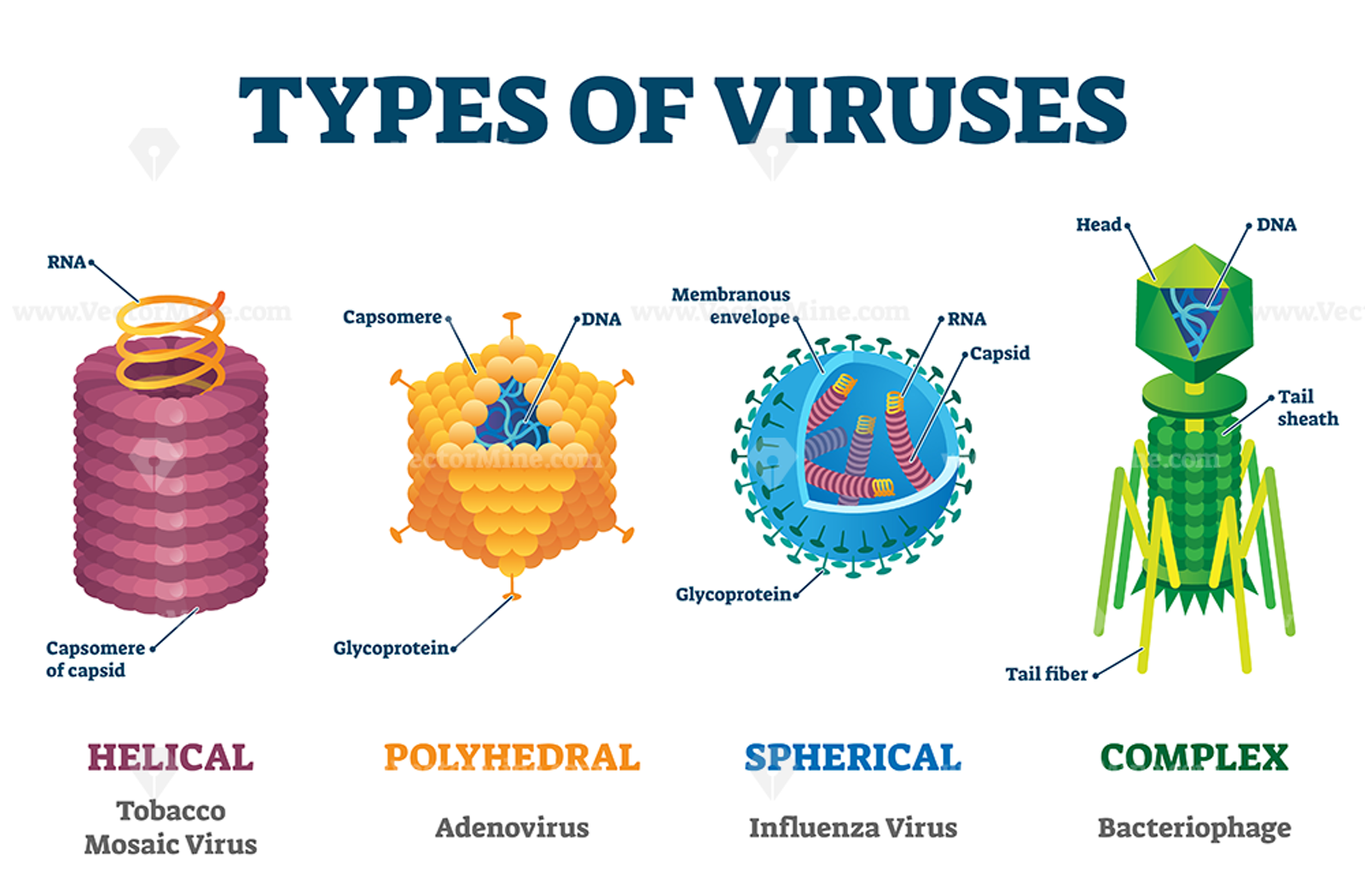 Types Of Viruses Vector Illustration Labeled Drawings In