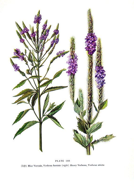Blue Vervain, Hoary Verbena Flowers - Botanical Print - 1954