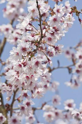 Prunus Shogetsu Shimidsu Blushing Bride Tree Flowering Cherry Tree Blossom Trees Prunus