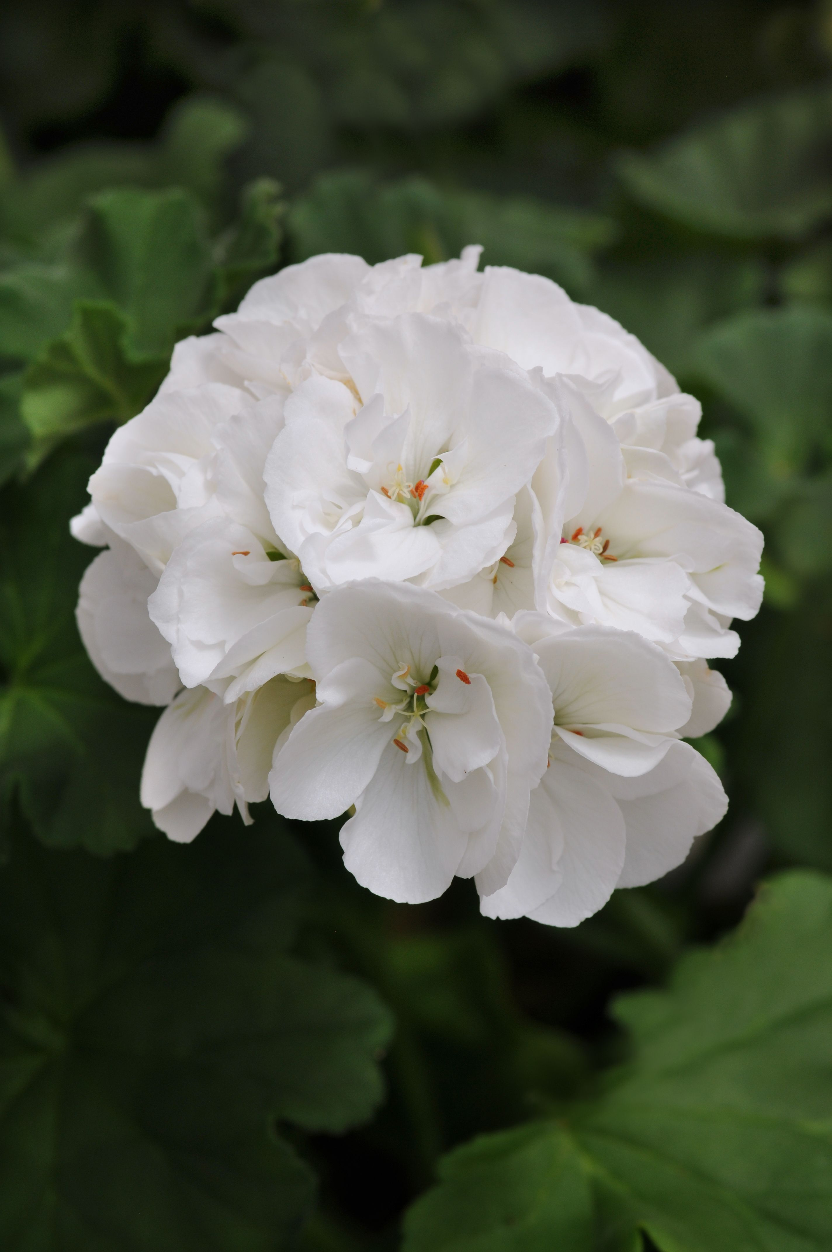Picture of Live Zonal Geraniums White aka Pelargonium hortorum Plant Fit 1GAL Pot