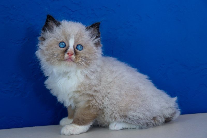 Newest Pictures Ragdoll Cats Brown Ideas The Larger Weak Ragdoll