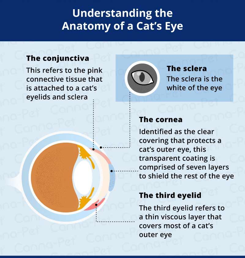 Cat Eye Infection Recognize the Signs Cat eye infection
