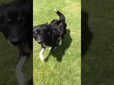 Meet Murphy A Petfinder Adoptable Australian Shepherd Dog In