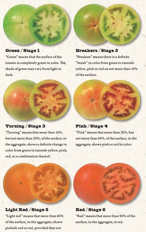 Tomatoes Ripening Chart Cool How To Ripen Tomatoes Ripen Green Tomatoes When To Pick Tomatoes