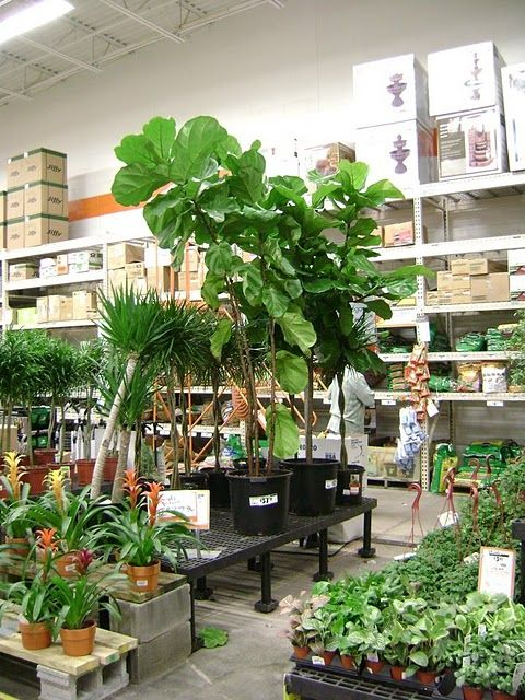 Fiddle Leaf Fig Tree At Home Depot