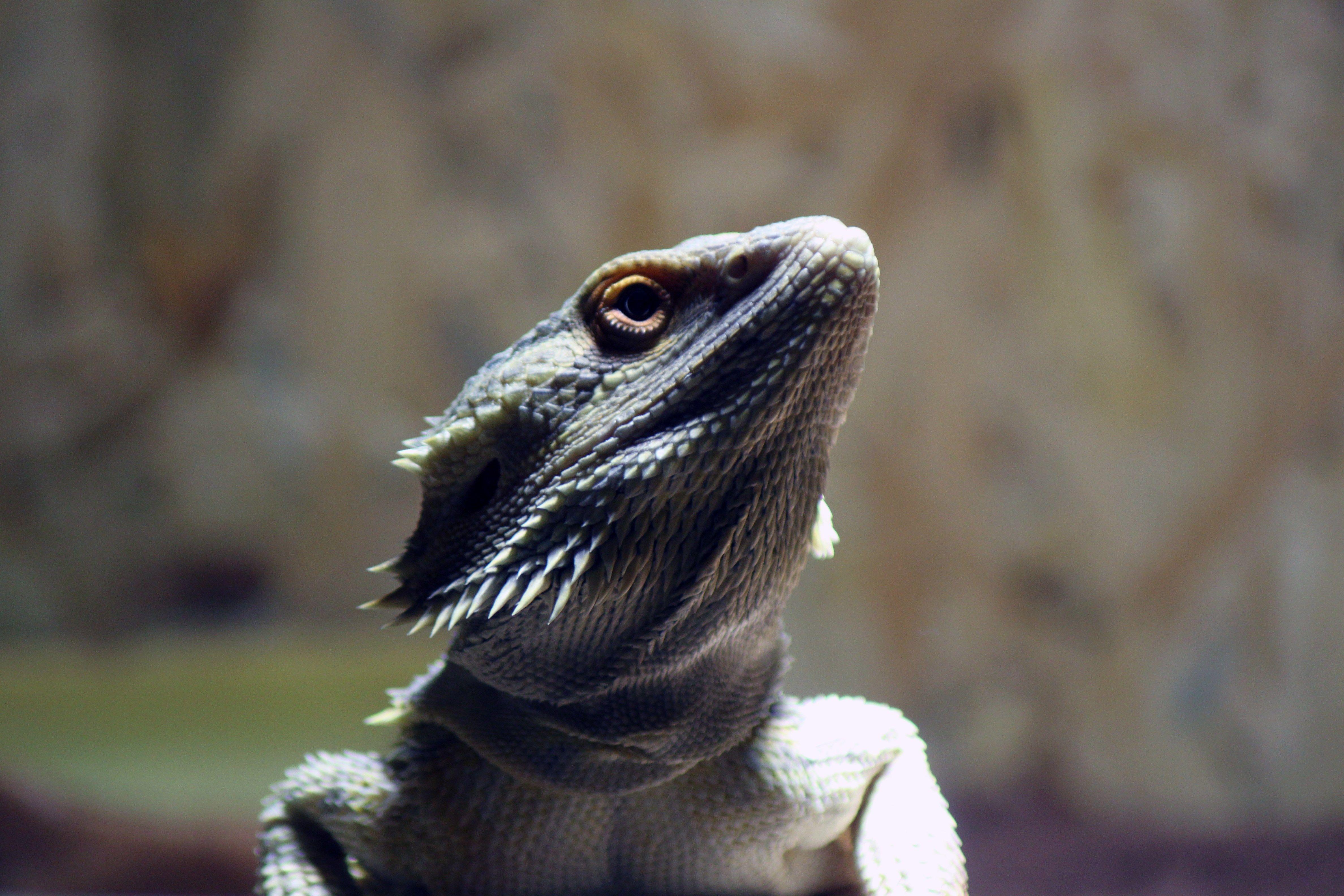 4k Bearded Dragon Hd Wallpaper 4752x3168 Bearded Dragon Bearded Dragon Care Pet Lizards
