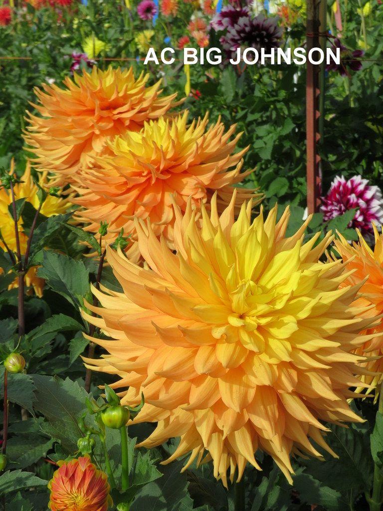 Dahlia Ac Big Johnson Aa Dahlia Flower Rainbow Flowers Pretty Flowers