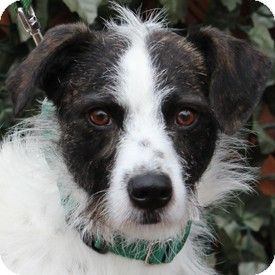 Walnut Creek Ca Wirehaired Fox Terrier Border Collie Mix Meet Liam A Dog For Adoption Wirehaired Fox Terrier Pets Fox Terrier