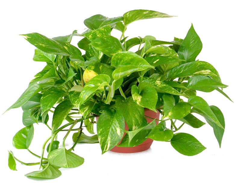 10 easy to care for houseplants golden pothos plants for Easy houseplants safe for pets