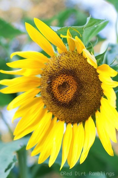 Which Flowers Are Easy To Grow From Seed Red Dirt Ramblings Growing Seeds Growing Sunflowers Sunflower