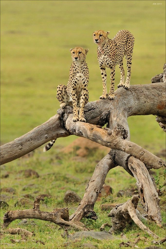 Observing - Cheetahs, Masai Mara, Kenya. Photography by Elmar Weiss
