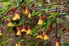 Cynthia Pike Abutilon Megapotamicum Varieties Garden Flowers