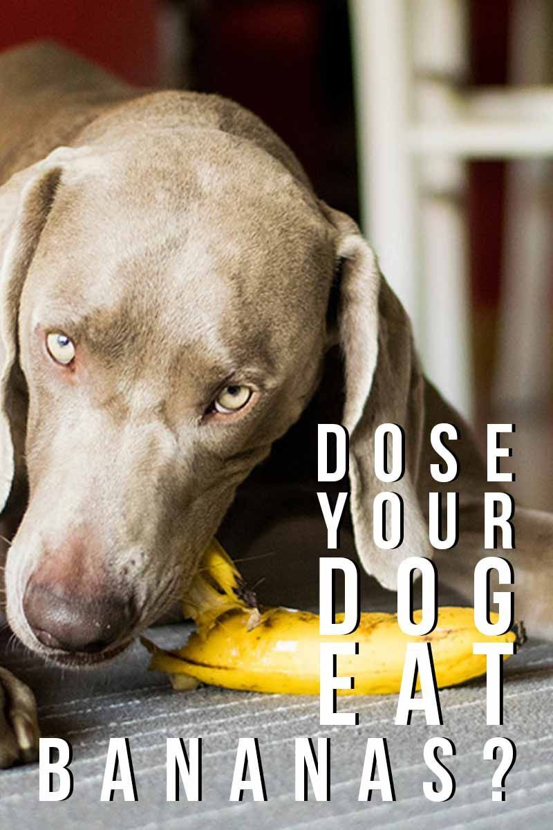 Dose your dog eat bananas? Can dogs eat bananas, Dog