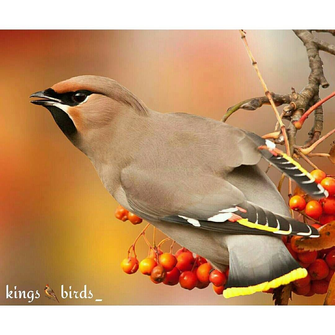 Present Today October 12  2015 Our Congratulations go to @schotje91  Name of birds:Bohemian Waxwing  . Please visit Her /His Gallery!! ________________________________________  Specify the name of the bird  ________________________________________ Thank you for tagging your pics #KINGS_BIRDS ...and we'll be grateful to see the repost even if temporary. Keep following and remember to tag  ONLY YOUR LAST POSTS   ________________________________________  Pic chosen by @cekotto . KINGS_BIRDS…