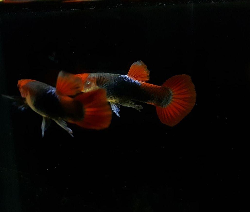 Red Koi Tuxedo Male Guppy Riverway Fishrooms Gupi