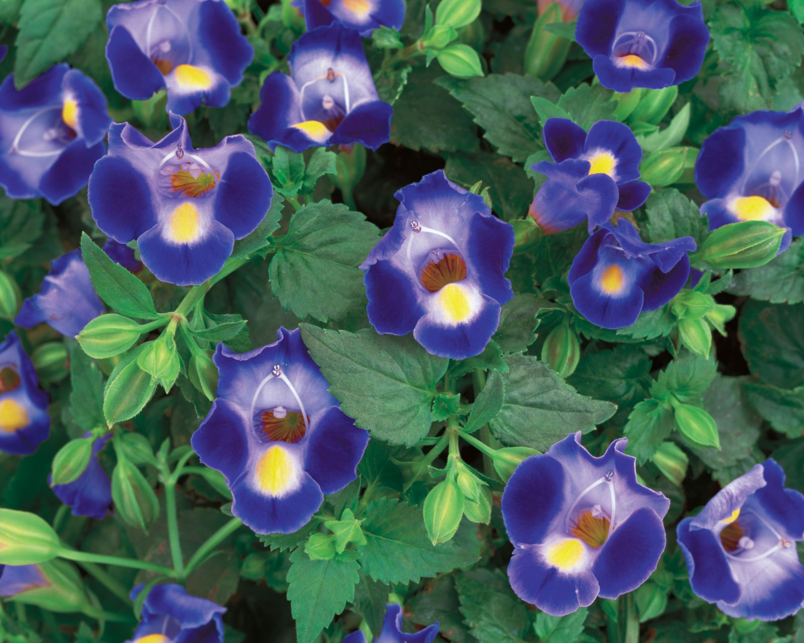 10 plants that will thrive in the shade container gardening torenia trailing annuals for shade izmirmasajfo