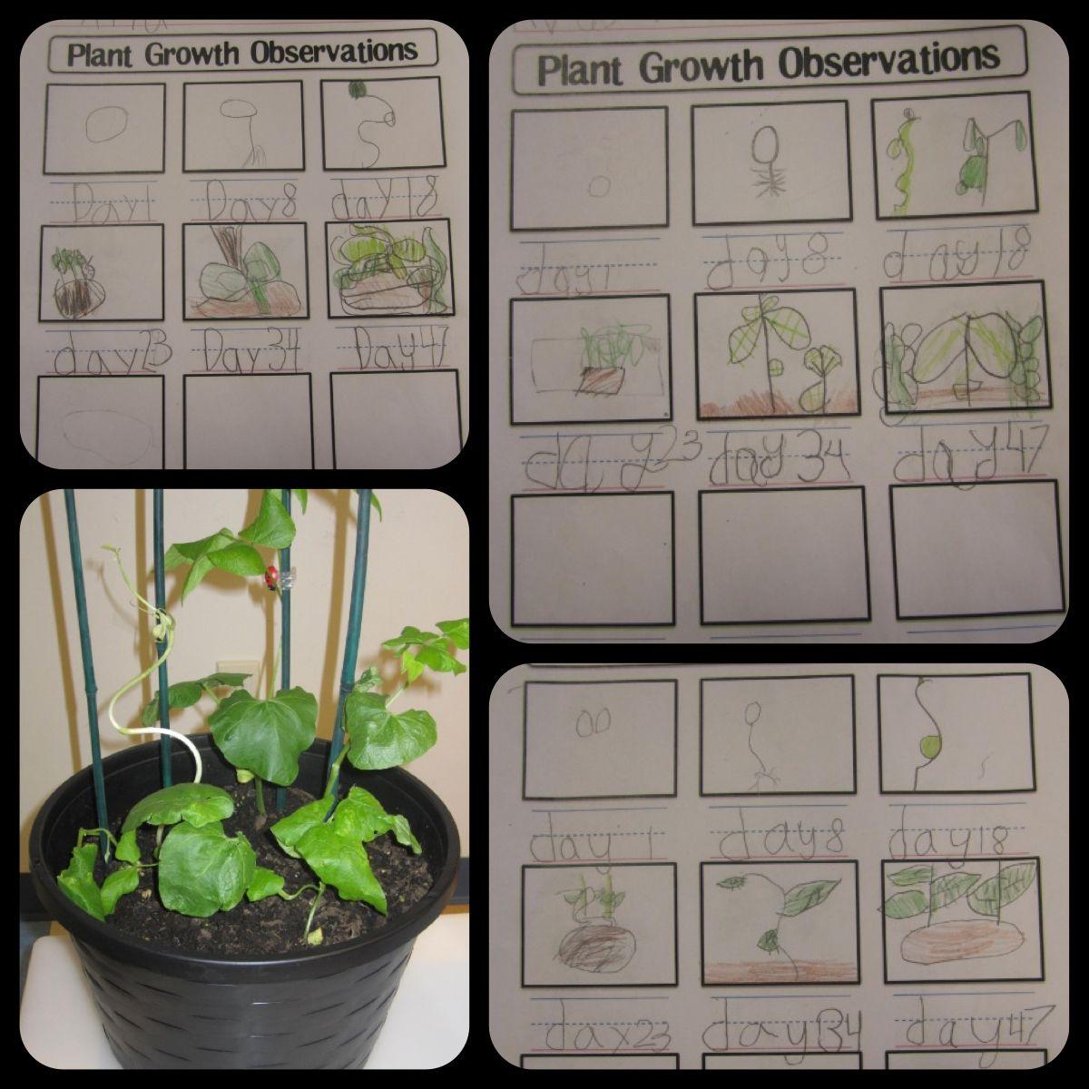 plant growth observation worksheet kindergarten science plant science kindergarten science. Black Bedroom Furniture Sets. Home Design Ideas