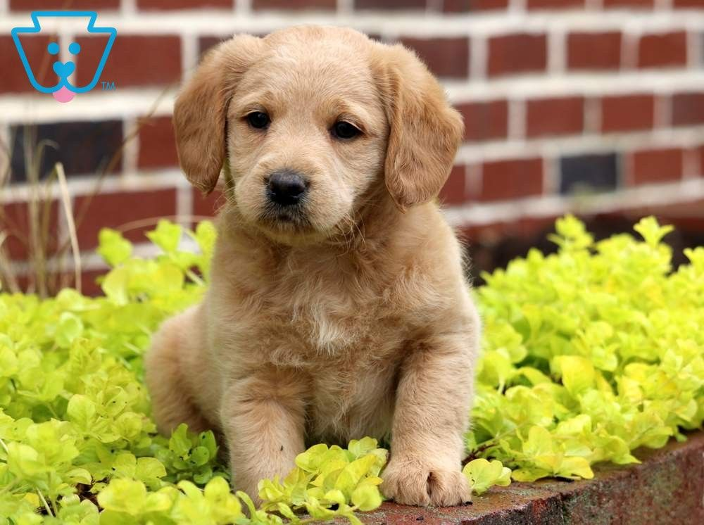 Dallas Puppies Labradoodle Labradoodle Puppies For Sale