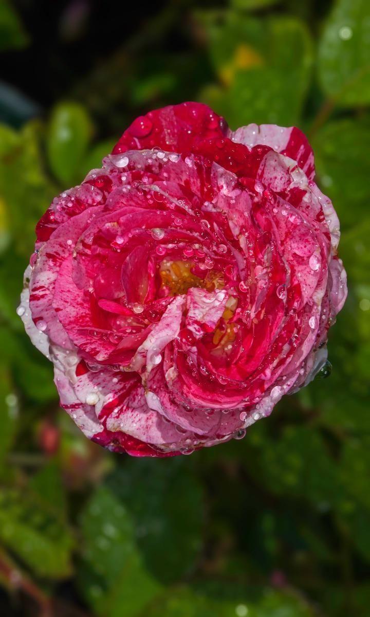 The rose garden beautiful gorgeous pretty flowers garden the rose garden beautiful gorgeous pretty flowers izmirmasajfo