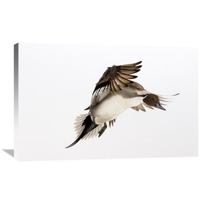 Global Gallery Nature Photographs Northern Pintai in Fight, Hokkaido, Japan Photographic Print on Canvas Size: