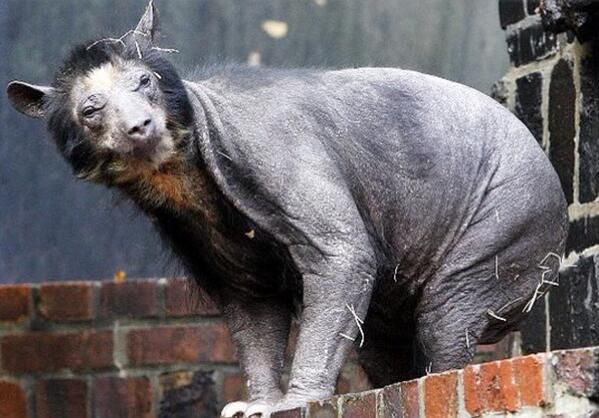 Gumberoo Seemingly Silly When First Described These Creatures Appear As Hairless Black Bears With Large Bellies Shaved Bear Spectacled Bear Bear Without Fur