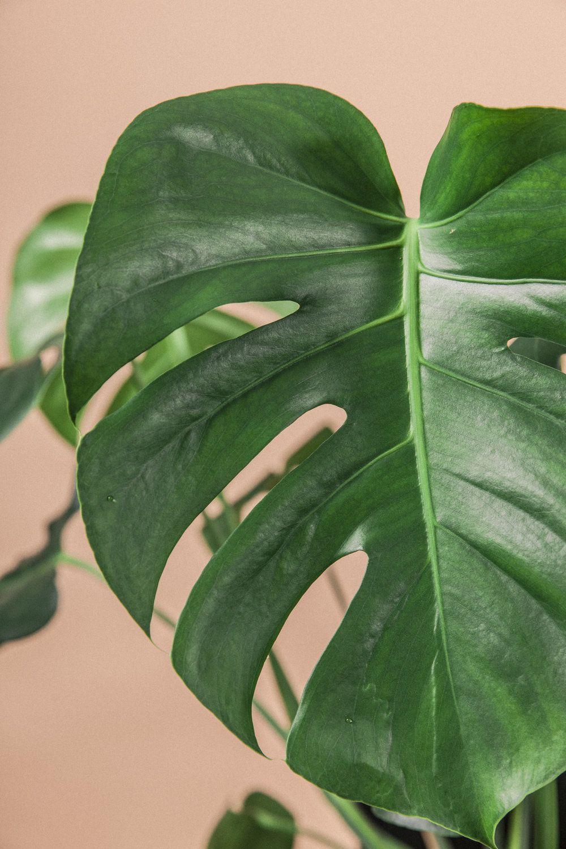 Planteportrett: Monstera Deliciosa