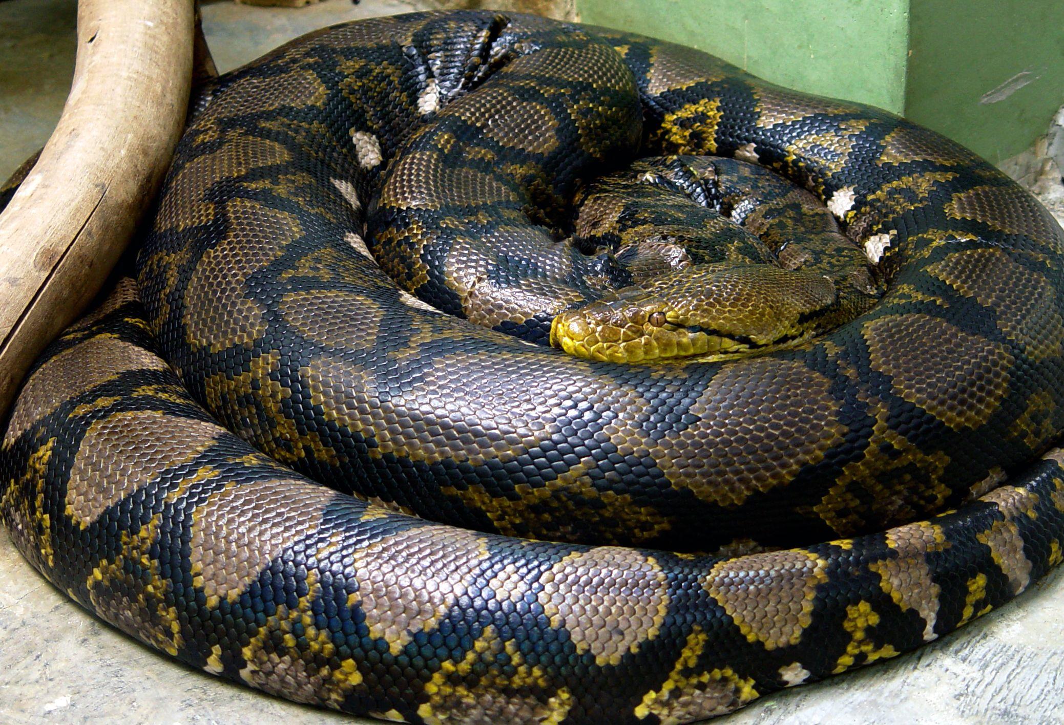 Python Reticulatus Reticulated Python Long Snake Largest Snake