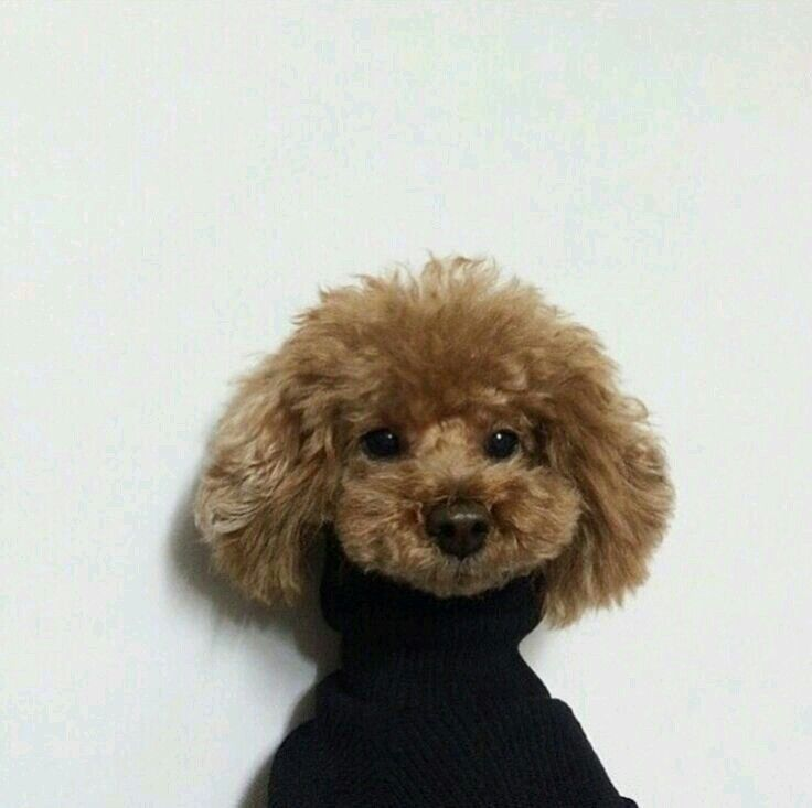 Poodle Wearing A Turtleneck So Cute Cute Animals Cute Puppies