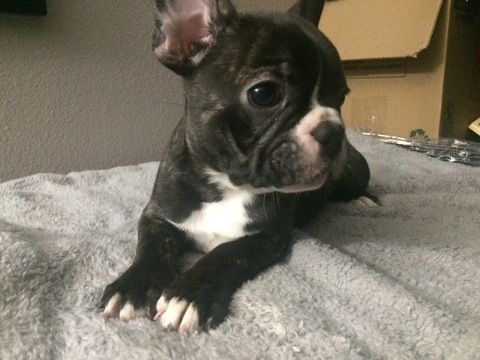 Litter Of 3 French Bulldog Puppies For Sale In Stockton Ca Adn