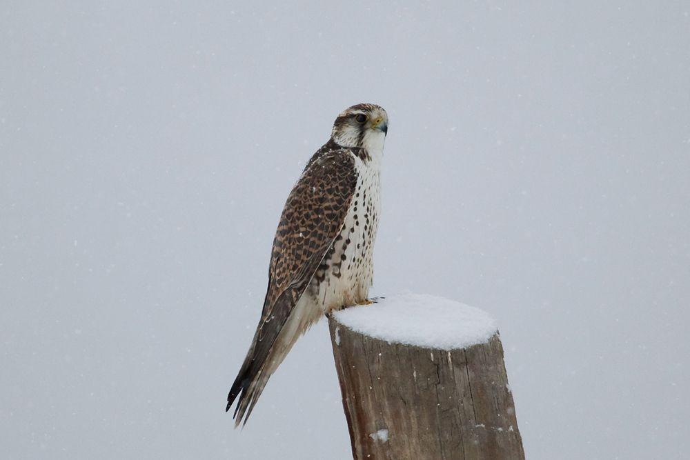 Saker Falcon (Falco cherrug milvipes)