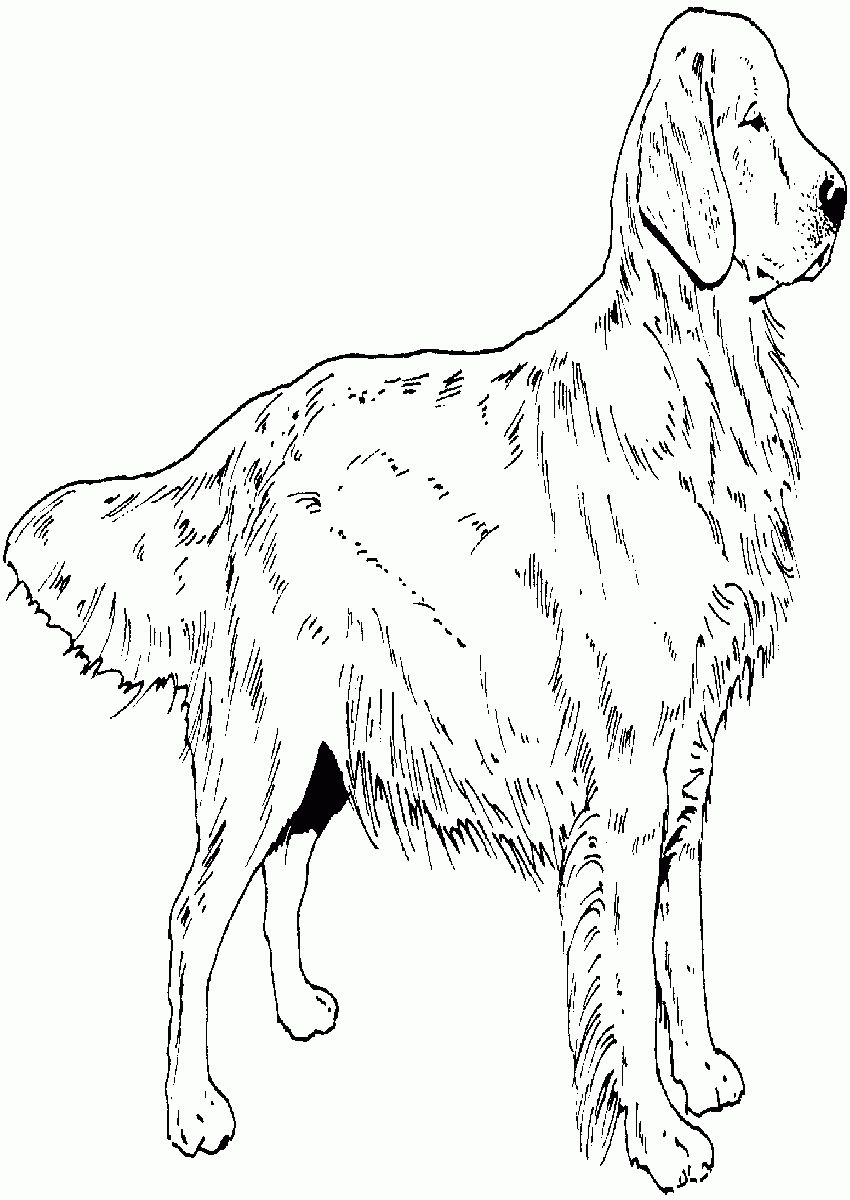 Golden Retriever Coloring Page Golden Retriever Puppy