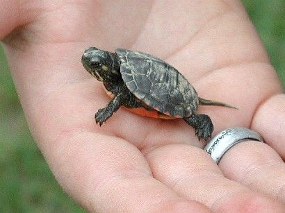 Animal Care Baby Turtles Animais Filhotes Tartaruga De Estimacao Lindos Filhotes