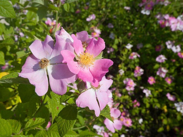 Wild Prairie Rose State Flower of Iowa and North Dakota