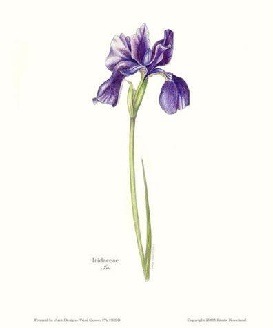 Http Lindakneeland Com Wp Content Uploads 2012 10 Purpleiris Jpg Iris Tattoo Iris Flower Tattoo Purple Iris