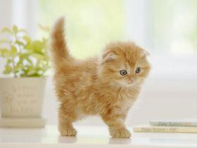 Orange Scottish Fold Kitten You Need This Little Guy Jennifer