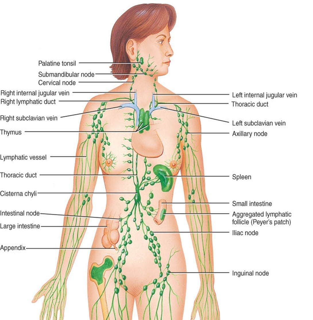 Labeled Diagram Of The Lymphatic System Lymphatic System