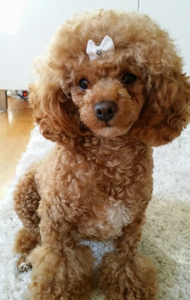 Image result for poodle haircuts | Dog | Dogs, Poodle ...