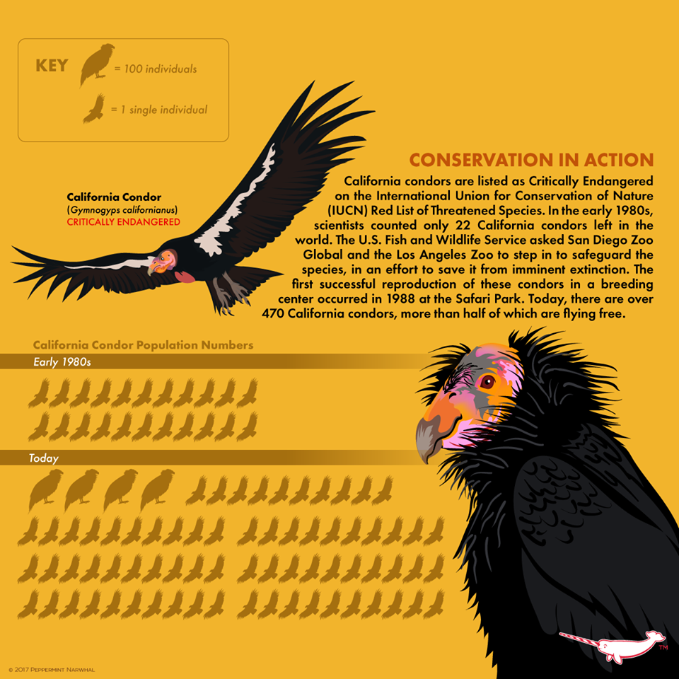 In The Early 1980s Scientists Counted Only 22 California Condors Left In The World We Ste California Condor Fun Facts About Animals San Diego Zoo Safari Park